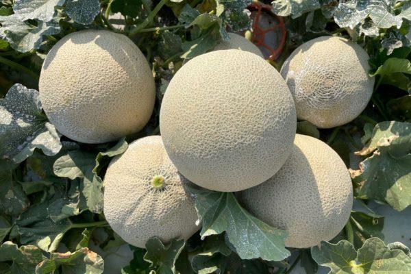 Melon House Fair - Fully Netted - Kamel - 2