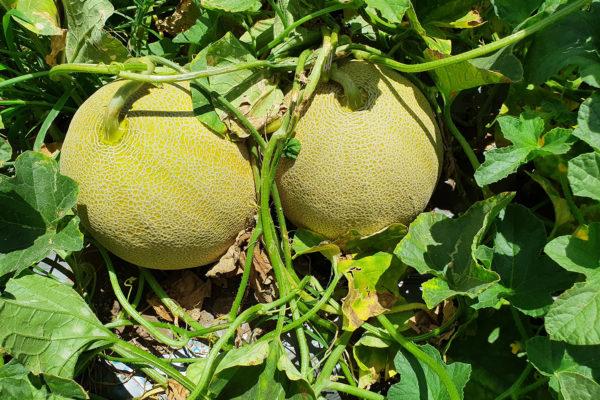 Melon-House-Fair---Fully-Netted---Kamel---3