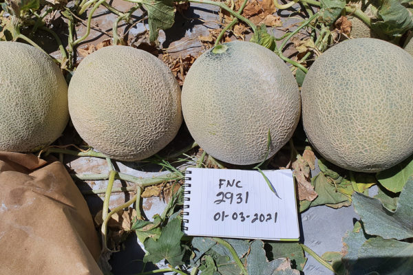 Melon-House-Fair---Fully-Netted---Kamel---5