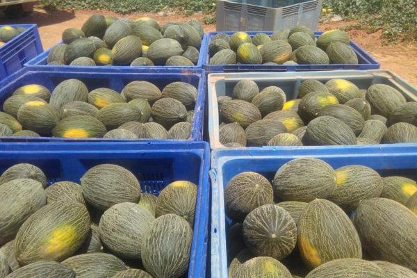 melon-house-fair-piel-de-sapo-campuzano - 2